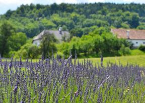Lavendelmanufaktur Wunsum