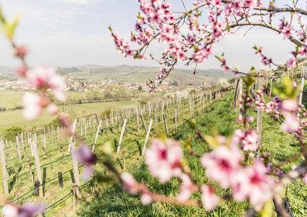Wein Frühling